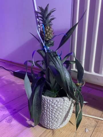 Hilfe meine Ananas Pflanze stirbt?