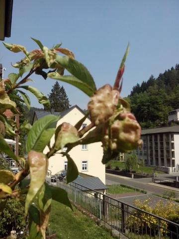 Sonst sieht der Baum normal aus  - (Krankheit, Garten, Hobby)