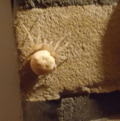 Hängt an unserer Hauswand - (Biologie, Spinnen, Spinne)