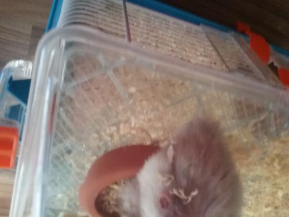 Da sieht man die Verletzung  - (Hamster, Wunde)