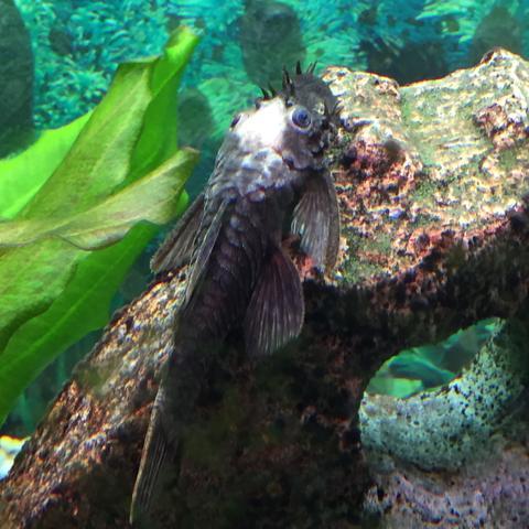 Hier kann man das erkennen - (Fische, Aquarium, Aquaristik)
