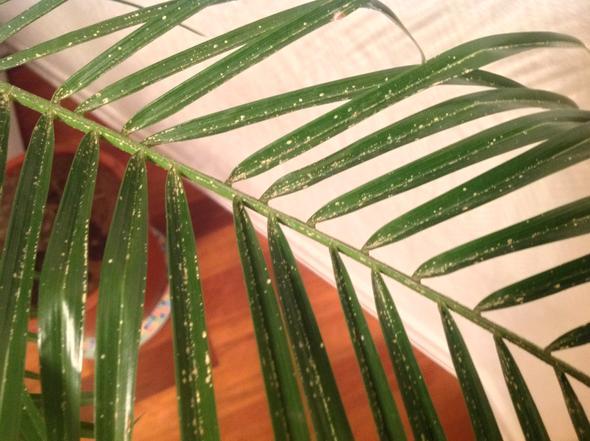 hilfe wei e punkte auf palme pflanzen sch dlinge. Black Bedroom Furniture Sets. Home Design Ideas