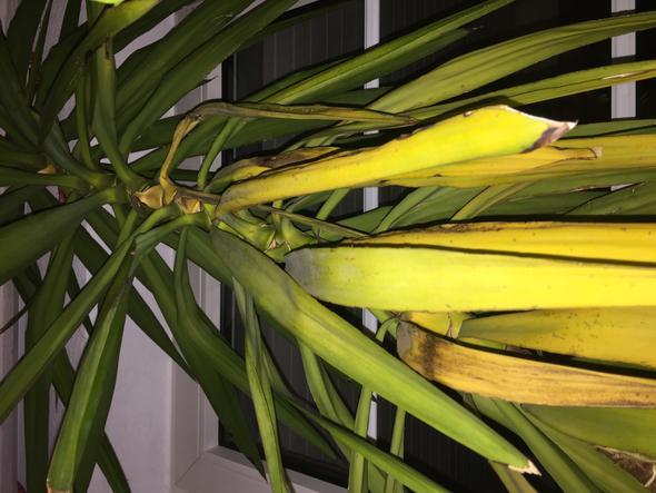 wer kann mir sagen wieso meine yucca gelbe bl tter bekommt pflege pflanzen giessen. Black Bedroom Furniture Sets. Home Design Ideas
