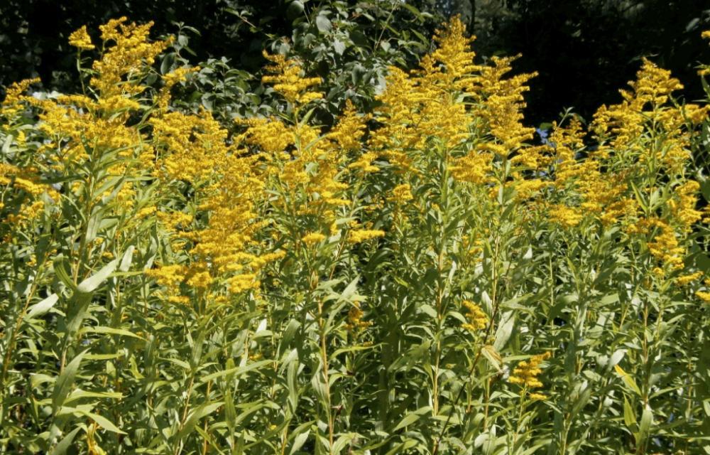 hilfe wer kennt diese gelbe pflanze name pflanzen natur. Black Bedroom Furniture Sets. Home Design Ideas