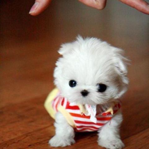 Kleine Hunderasse  - (Hund, klein, Hunderasse)