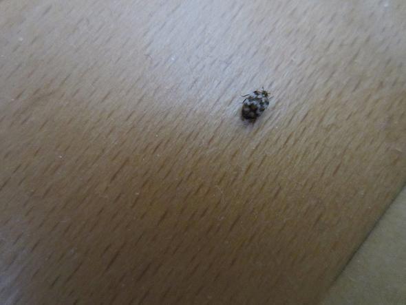 hilfe winzige braun gefleckte k fer in der wohnung insekten sch dlinge. Black Bedroom Furniture Sets. Home Design Ideas