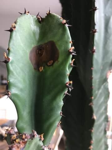 Hilfe. Wisst ihr was das sein kann? Mein Kaktus hat einen braunen Fleck?