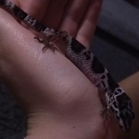 Länge länge - (Haltung, Fütterung, leopardengecko)