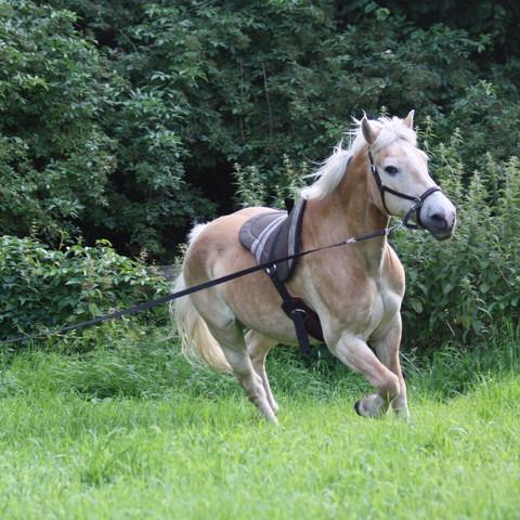 An der Longe  - (Tiere, Pferde, Reitbeteiligung)