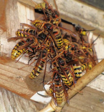 hornissenverhalten warum halten sich so viele hornissen au erhalb des nestes auf tiere. Black Bedroom Furniture Sets. Home Design Ideas