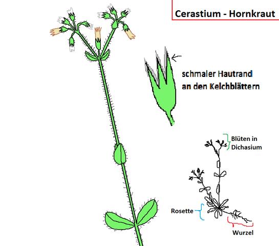unbekanntes Cerastium - (Biologie, Garten, Pflanzen)
