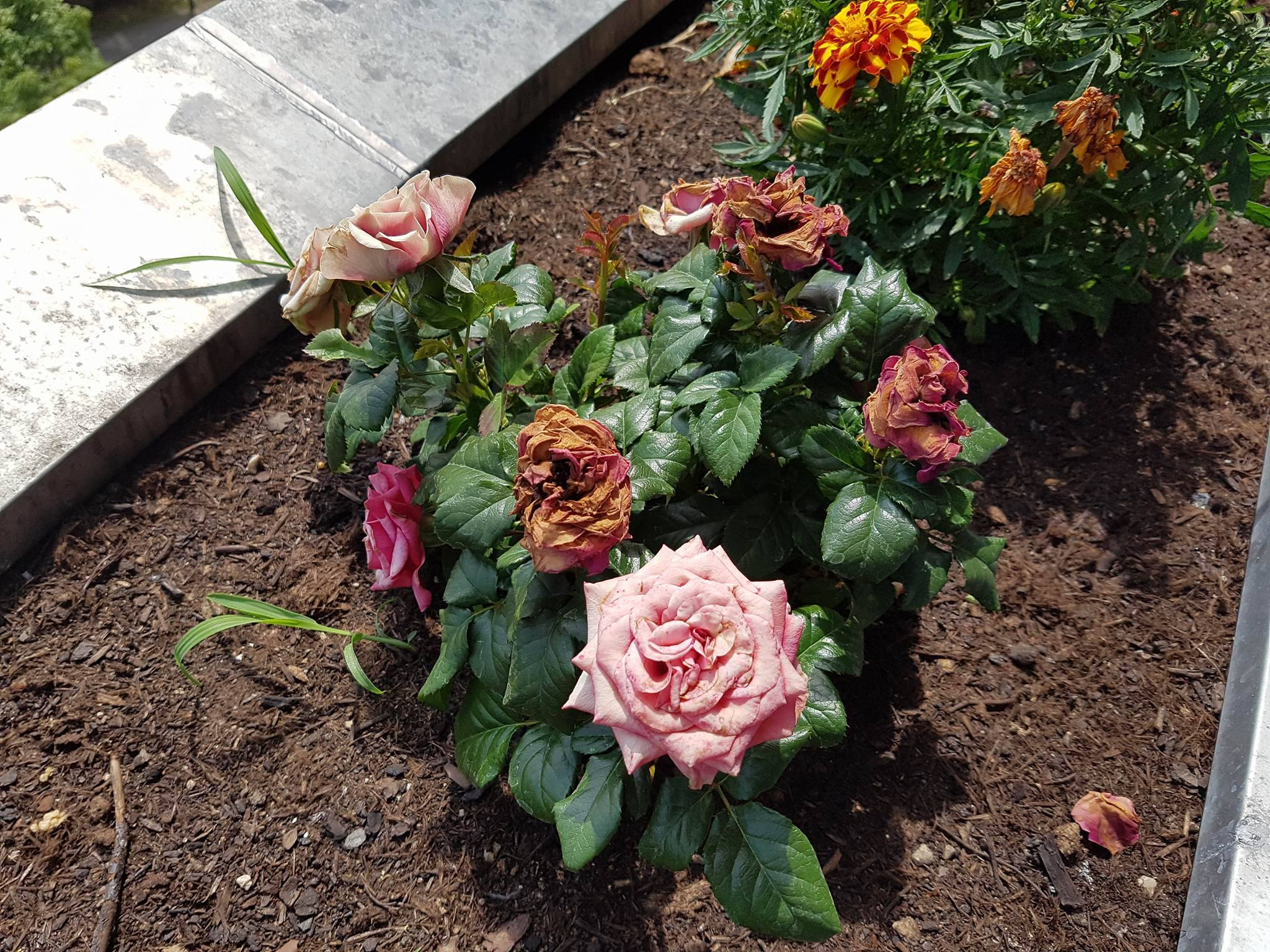 hortensien rosen sch ne balkonpflanzen was kann ich. Black Bedroom Furniture Sets. Home Design Ideas
