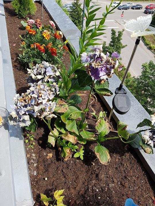 hortensien rosen sch ne balkonpflanzen was kann ich jetzt daraus machen garten pflege blumen. Black Bedroom Furniture Sets. Home Design Ideas