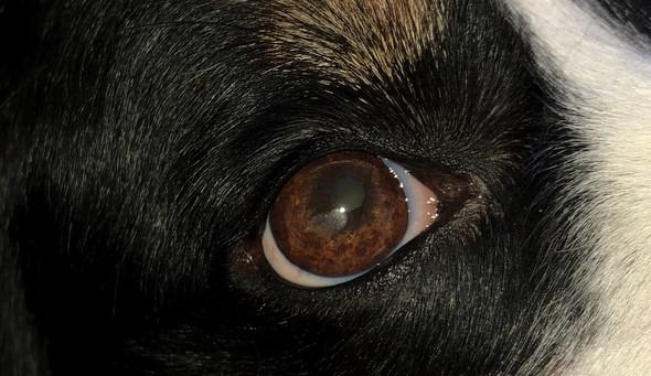 Hündin Auge Fleck. Hornhaut?
