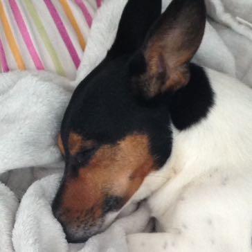hund bellt zieht und h rt nicht mehr erziehung jack russell terrier. Black Bedroom Furniture Sets. Home Design Ideas