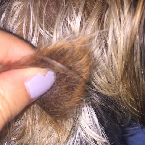 Hund Hat Schwarze Punkte Im Ohr Die And Den Haaren Kleben Und Die