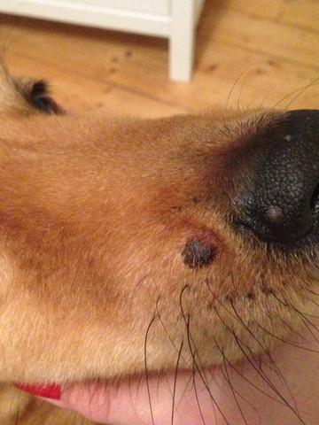 - (Hund, Tierarzt, Knubbel)