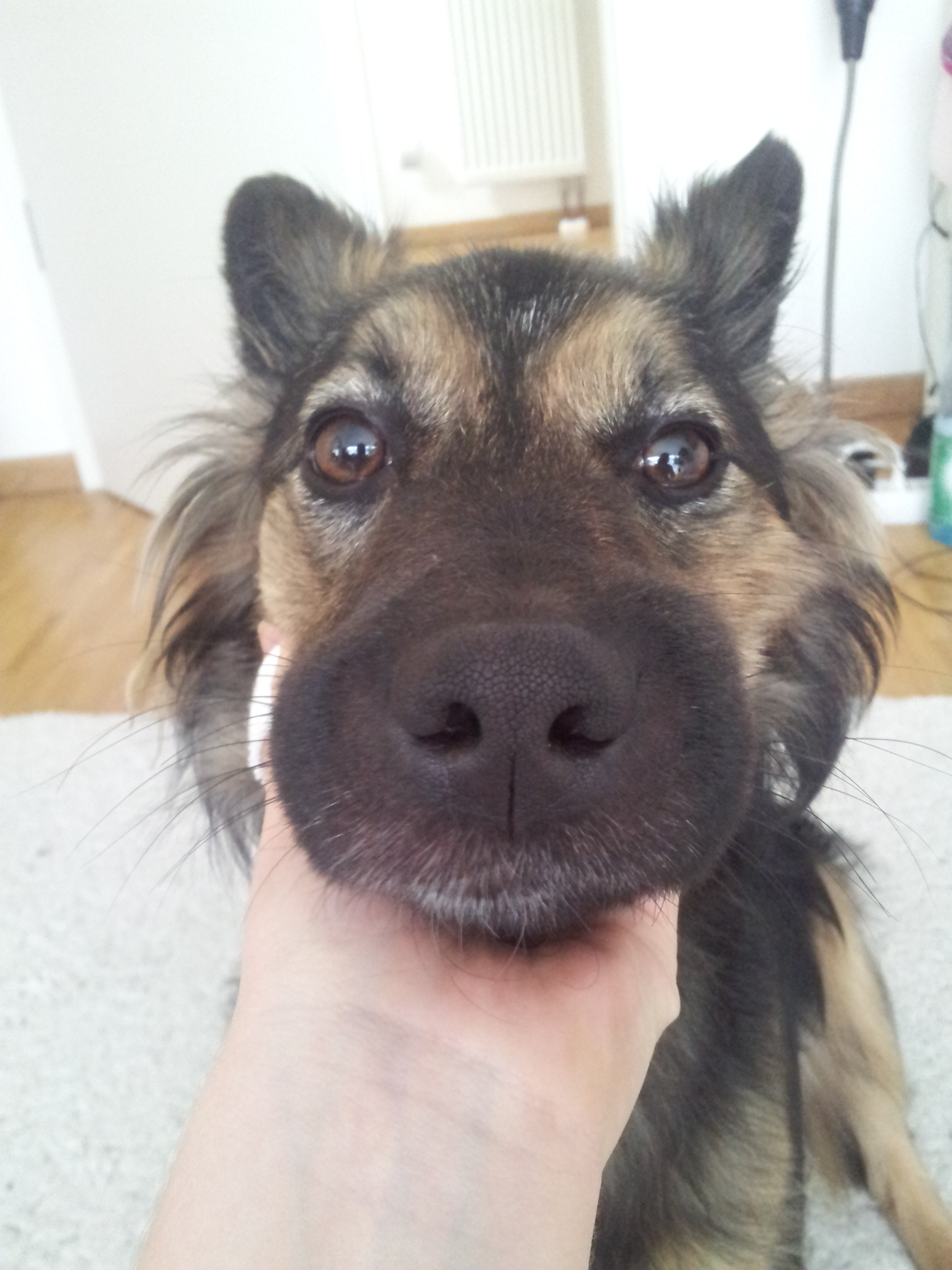 Hund hat sehr geschwollenen Bereich in der Mundgegend