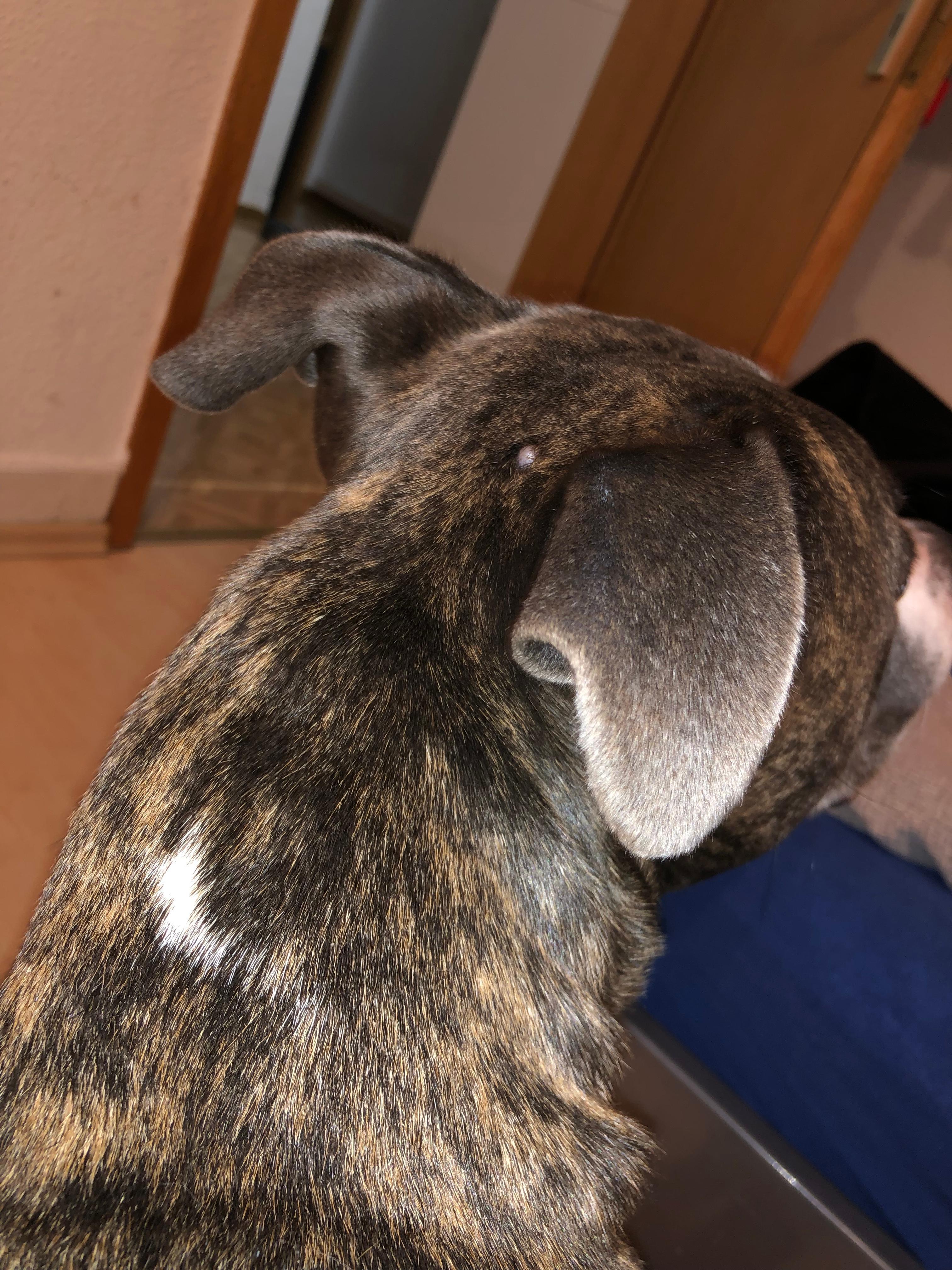 Hund Hat Heißen Kopf