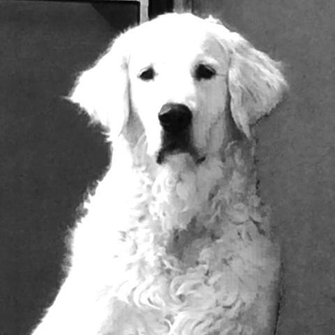 Golden Retriever - (Tiere, Hund, kaputt)