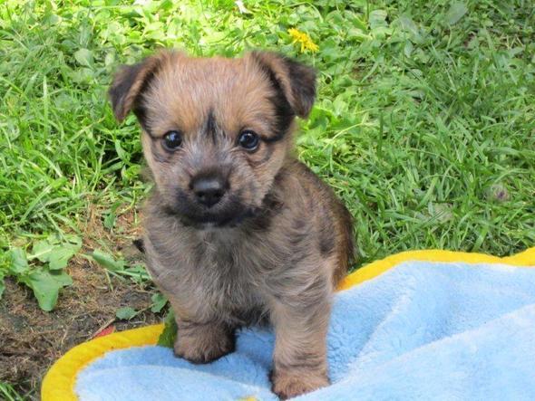 was gibt es f r hunde die immer klein bleiben hund mischling kleine hunde. Black Bedroom Furniture Sets. Home Design Ideas