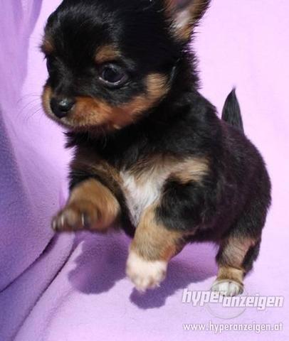 hunde die immer klein bleiben mischling kleine hunde. Black Bedroom Furniture Sets. Home Design Ideas