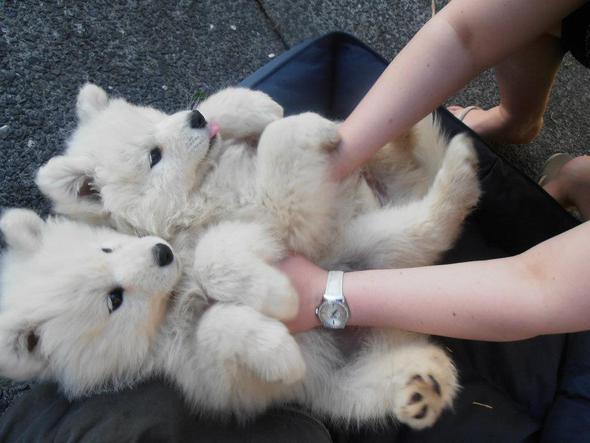Welche Hunderasse ist das? - (Tiere, Hund, weiss)