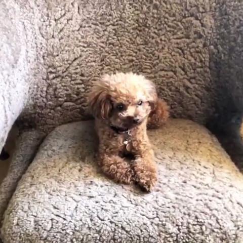Hunderasse Katy Perrys Hund Tiere Welpen Rasse