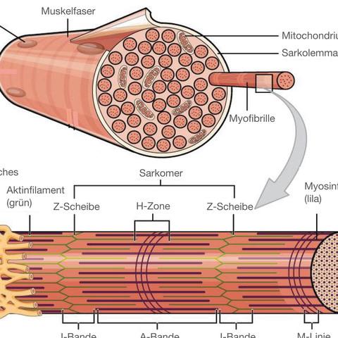 Hypertrophie Muskel