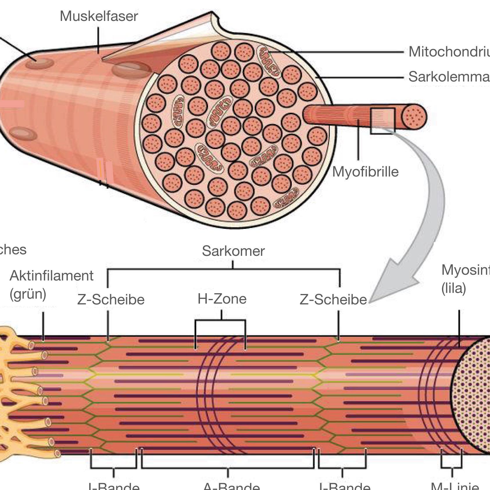 muskelaufbau mit steroiden