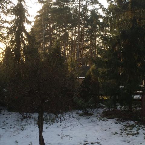 Stehen schon Fichten und Kiefern dort unten mit Lücken  - (Garten, Pflanzen, Wald)