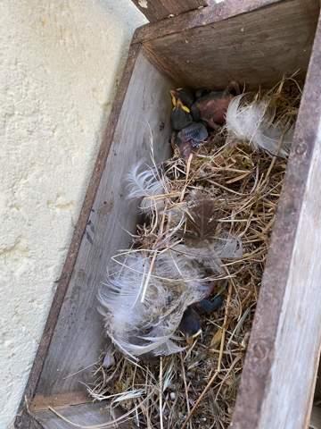 Ich habe drei  kohlmeisen Nestlinge auf meinem Balkon gefunden die aus dem Nest (Ebenfalls auf meinem Balkon) gefallen sind. Wie gehe ich nun vor?