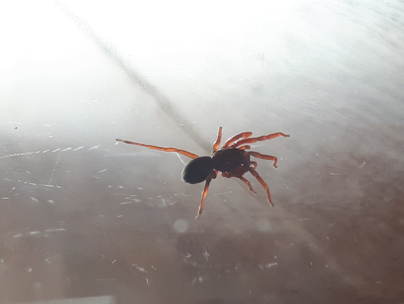 - (Griechenland, Spinne)