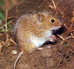 Das ist die Maus - (Tiere, Maus)