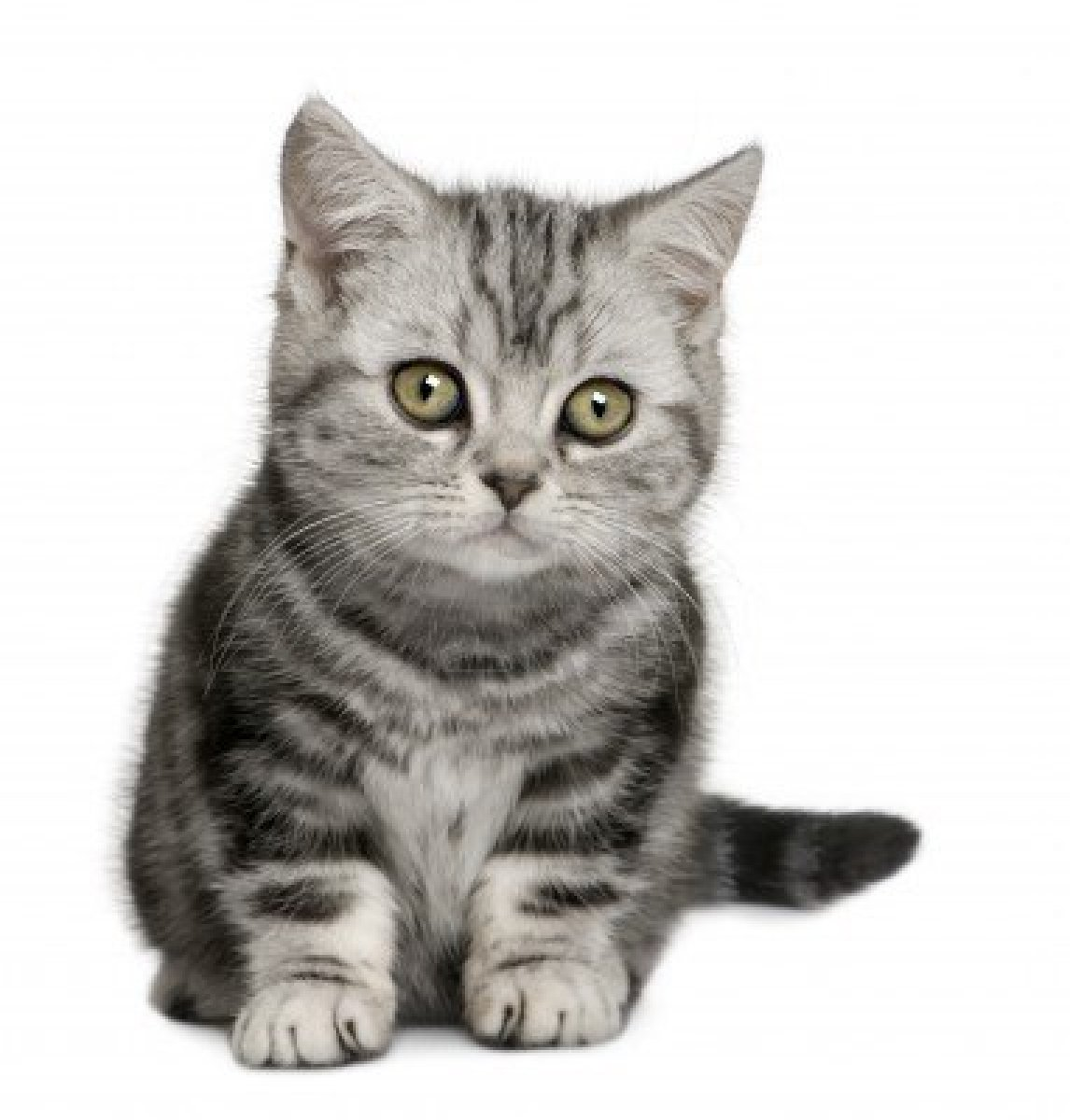Smokey Grey Cat Blue Eyes