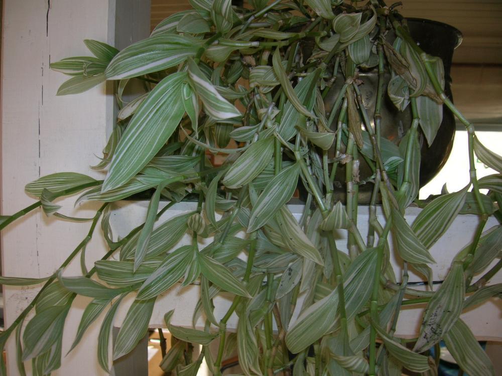 ich kann diese pflanze nicht bestimmen pflanzen zimmerpflanzen. Black Bedroom Furniture Sets. Home Design Ideas