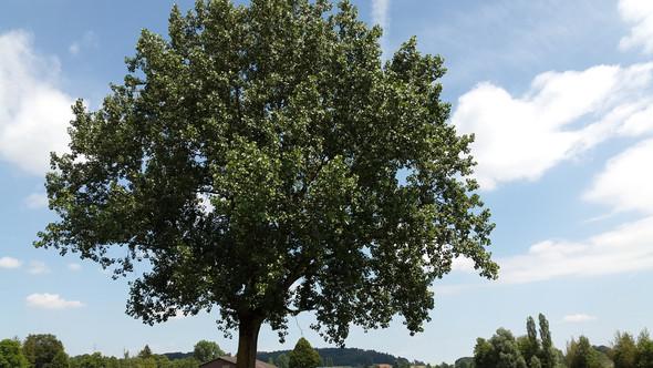 Der besagte Baum - (Natur, Baum, Baum bestimmen)