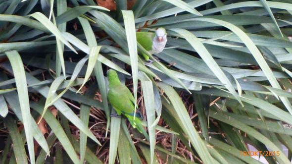 Papageien ian der Costa del Sol - (Vogelart in Spanien, Papageienart in Spanien)