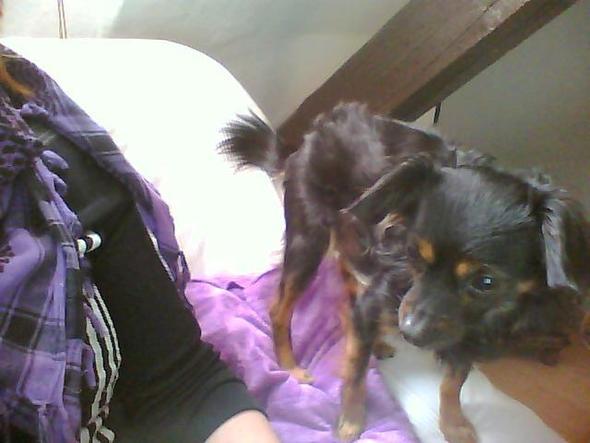 bild 1 - (Tiere, Hund, Chihuahua)