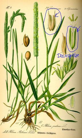 Deckspelze bei Süßgräsern (Poaceae) - (Biologie, Pflanzen, Botanik)