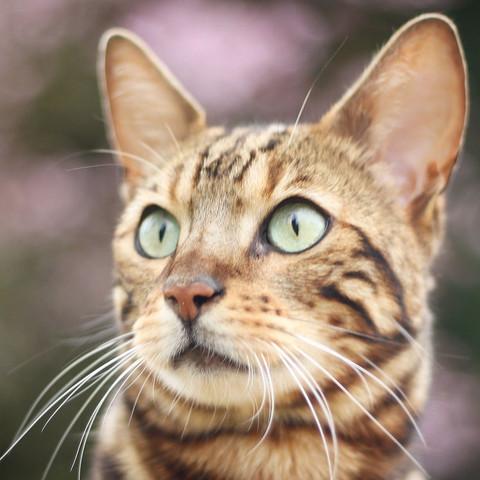 Das ist mein Bengalkater 🙋🏼 - (Foto, Katze, Ideen)