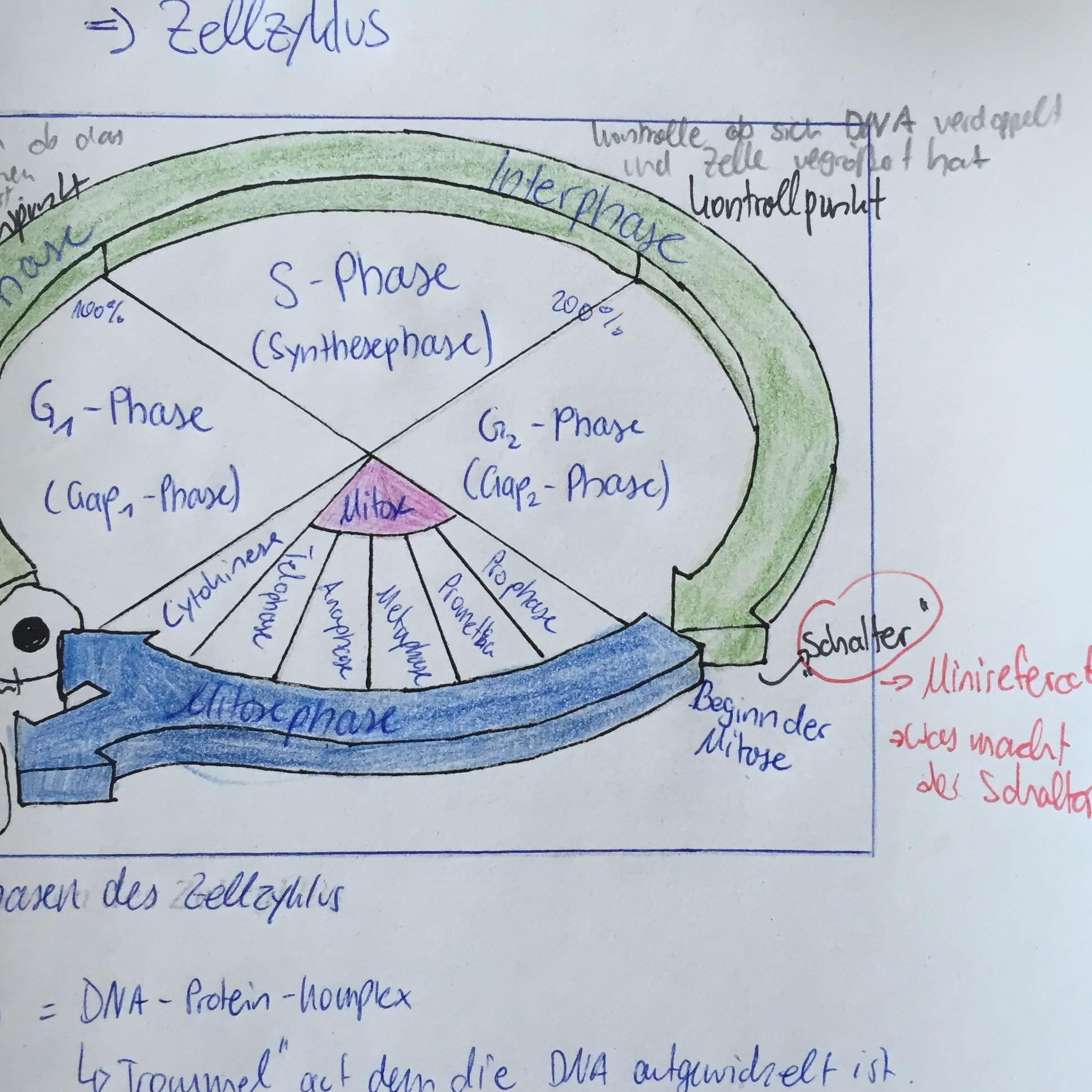 Im Zellzyklus gibt es verschiedene Kontrollpunkt. Was genau ist der ...