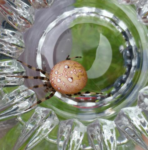 Die gesuchte Spinne - (Tiere, Deutschland, Biologie)