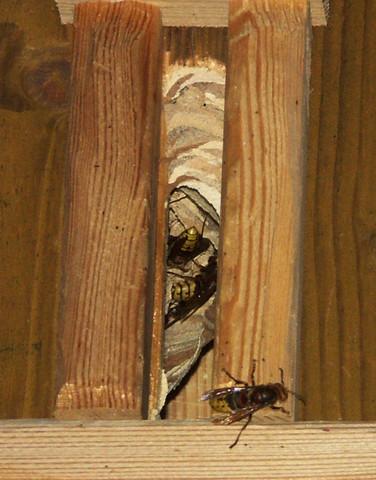 in wasser gel ster puderzucker als futter geeignet f r hornissen wespen bienen tiere garten. Black Bedroom Furniture Sets. Home Design Ideas