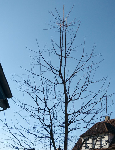 In welcher Höhe sollte man diesen Kirschbaum zurechtschneiden?