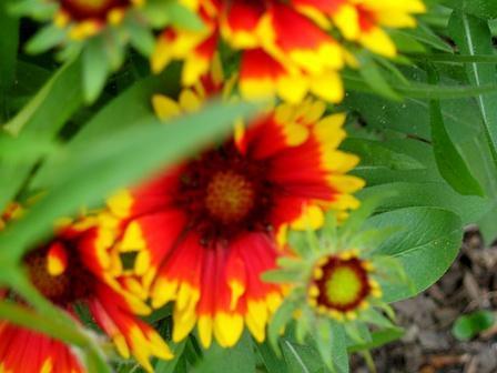 Gartenblume - (Freizeit, Garten, Blumen)