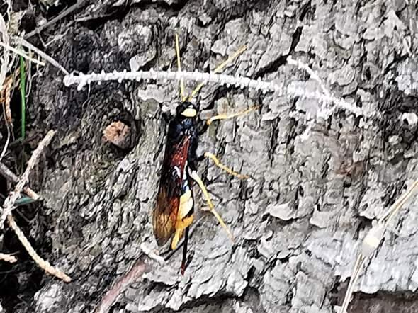 Insekt mit langem Stachel?