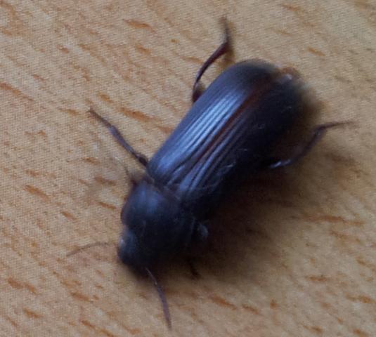 insekten immer wieder im haus Käfer