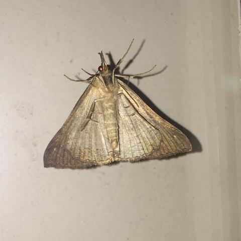 Nahaufnahme - (Insekten, Nachtfalter)