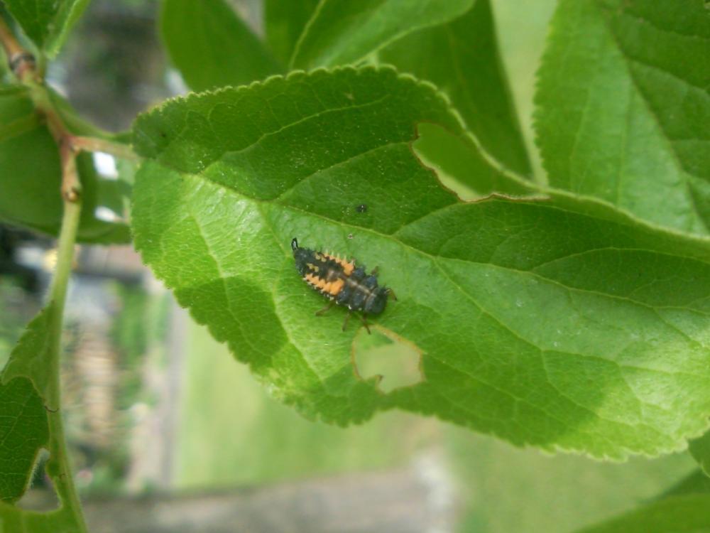 invasion von seltsamen tieren auf meinem pflaumenbaum garten insekten ungeziefer. Black Bedroom Furniture Sets. Home Design Ideas